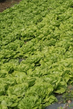 Der Salat wird geschnitten