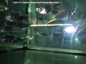 420413 Xipho. helleri swordtail Black-Marbled