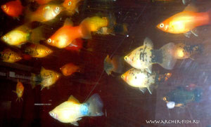 441604 Platy MIXED Colour xlg