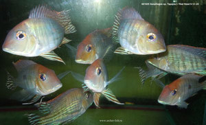 681605 Geophagus Tapajos I/Red Head