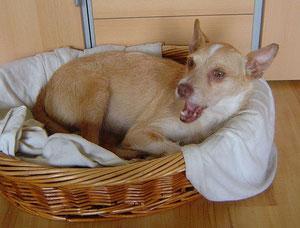 Miro schläft unter der Bettdecke in Rosendahl.