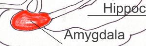 Amygdala Close-up view