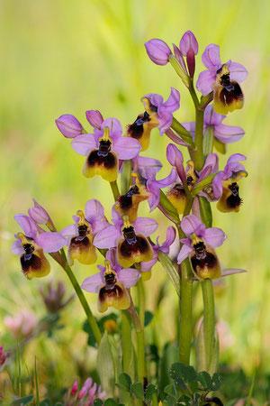 Sardinien Orchideen
