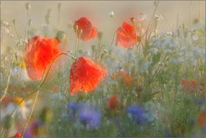 Blütenpflanzen allgemein
