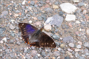 Apatura iris f. iole