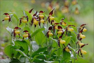 heimische Orchideen