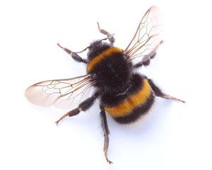 wespen handelt es sich wirklich um wespen fliegenfallen testsieger. Black Bedroom Furniture Sets. Home Design Ideas