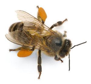 Honigbiene,Wildbiene
