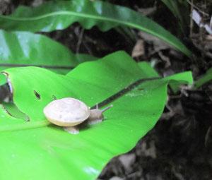 雨で喜ぶ固有の樹上性カタツムリ