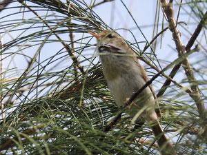 同日撮影したオガサワラハシナガウグイスの幼鳥