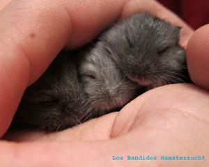 Schlafende Hamsterbabies