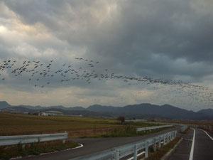 宍道湖畔の鴨の群れ