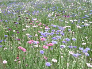 満開の矢車草