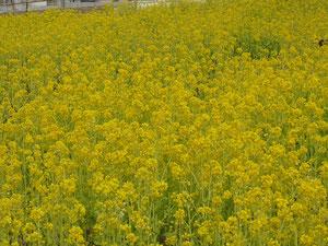 満開の菜の花(3月30日)