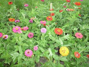 きれいに咲いた百日草