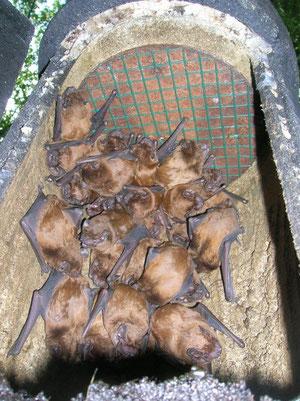Abendsegler im Fledermauskasten (Foto: NABU Verbandsnetz)