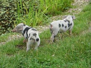 Foto: O. Gellißen, Bentheimer Landschweine