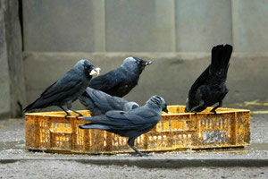 Dohlengruppe (Foto: Falk, NABU)