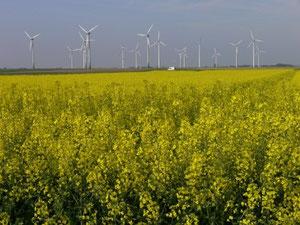 Foto: P. Feuster  Windkraftanlagen im Raps