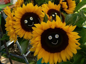 Foto: P. Feuster  Sonnenblumen