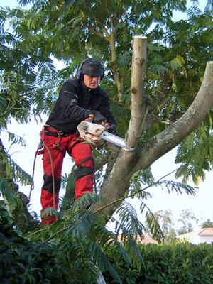 Saint-Médard-en-Jalles, élagage sévère d'un arbre quelque peu envahissant (R. Peuron)