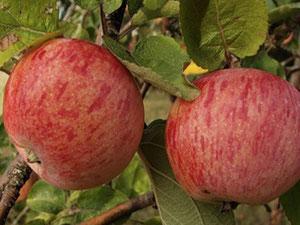 купить яблони для подмосковья в Клину