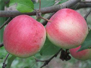 яблоня сорта Строевское
