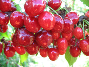 калина красная гроздь,купить в Клину,недорого