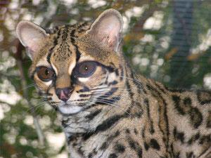 Photo : Margay  de la Réserve animalière de Calviac