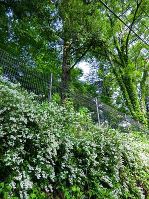 ▲都立神代植物公園側道のエゴノキの花(手前)