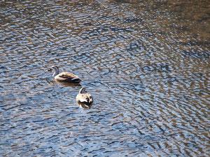 むさしの 鴨