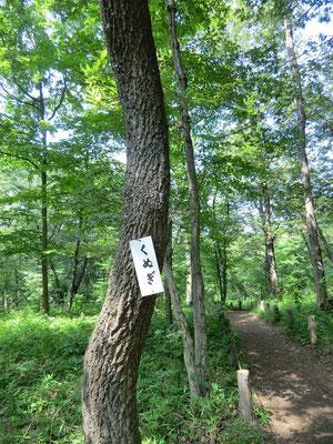▲中山近くのクヌギの木