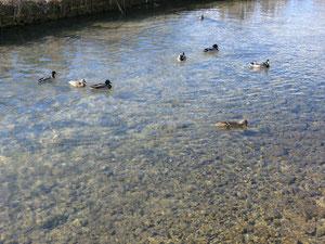 コッツウォルズの鴨