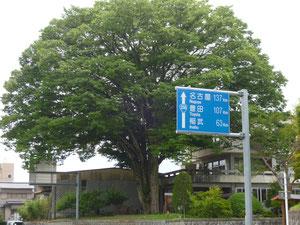 大ケヤキ 名古屋のほうが近いですね