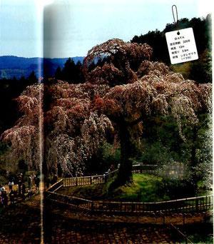 樹齢330年 樹高13m 幹周3,8m 樹種 シダレザクラ(バラ科)