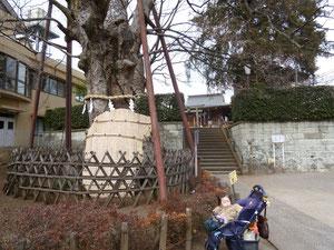 樹齢800年 樹高19m 幹周8m