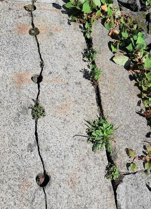 Rissige Elbsteine, aus denen Pflanzen wachsen, so wie  auch bei Schmerz und seelisch-körperlichen Leiden immer noch Kraft-Ressourcen und Gesundheit vorhanden