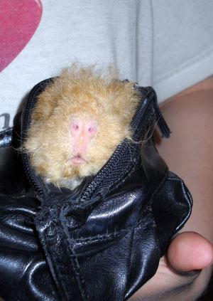 Hellboy, das Taschenschweinchen♥