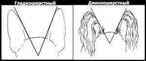 уши русского тоя как правильно клеить уши постав ушей той терьера