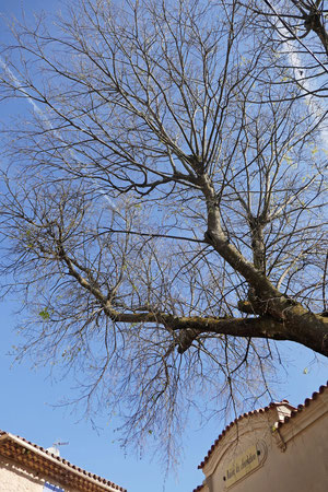 le mococoulier, ou arbre à fourches (photo Marc Forgeot)