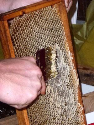 Désoperculation d'un cadre de miel Cevennes LOZERE