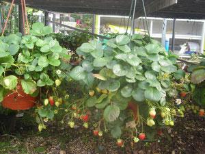 fraisiers en suspensions