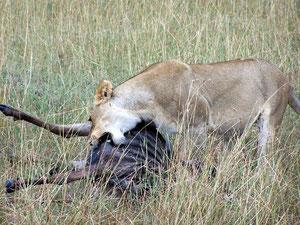 Leona cazando
