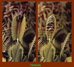Movimiento de las hojas modificadas de una planta carnívora cuando un insecto se posa en ellas