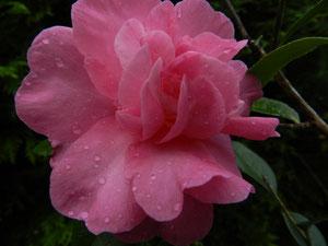 Camellia Japonica 'JEAN PAIL XVIII'               (SCIDF 77yvon)