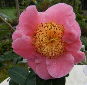 Camellia japonica 'VOLUNTEER ' (SCIDF 77mori7)
