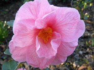 Camellia Hybride 'DONATION'  (SCIDF 77049)