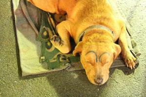 眉毛落書きされている犬
