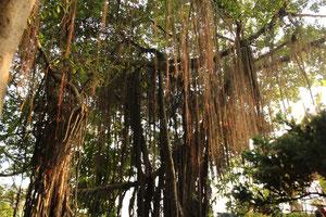 ベトナムにはこんなただれたような木がいっぱい。
