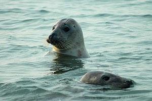 le phoque Veau-marin